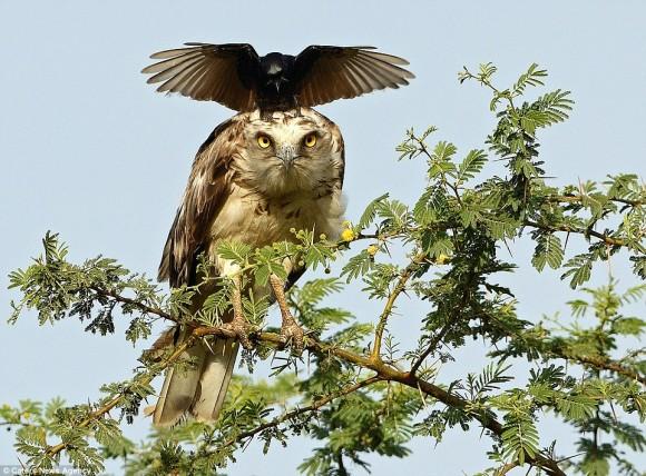 例え相手が格上でも、恐れず、怯まず、退かず。カラスがワシの頭上で真向勝負を挑む(インド)