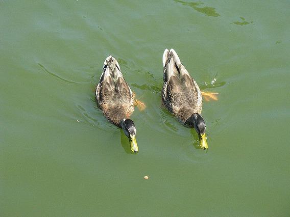 synchronized swimming animals 12
