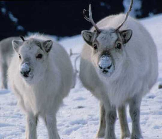 Deer-Rangifer-2