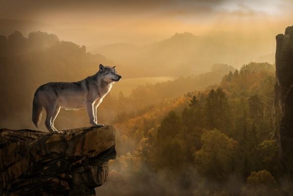 wolf_pixabay_1