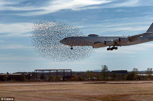 飛行機に突っ込むムクドリ