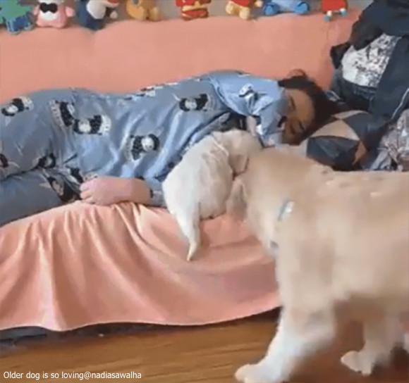 飼い主の隣でどうしても寝たい大きな犬。だけどそこにはすでに小さな犬が...そこで大きな犬はラブリーな方法を考えた