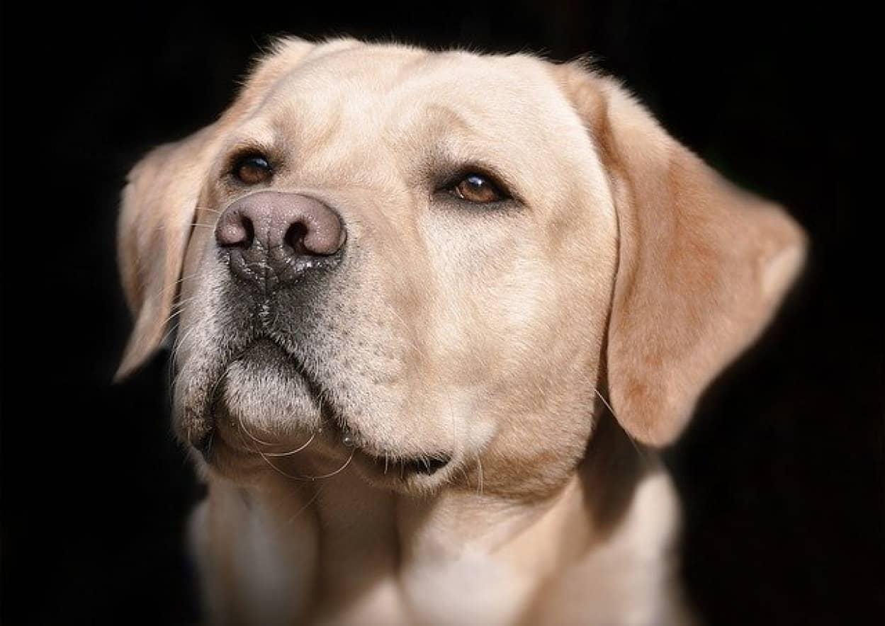 犬は人の尿からも新型コロナウイルスを嗅ぎ分けることができることが判明