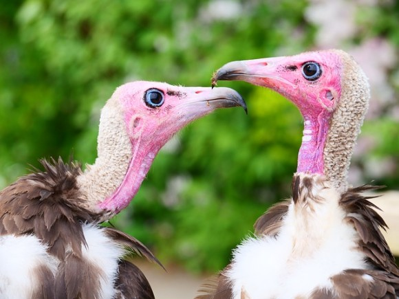vultures-3416226_640_e