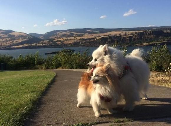 ボクが君の目になるからずっと一緒に遊べるよ。盲目となった親友犬の目となったポメラニアン(アメリカ)