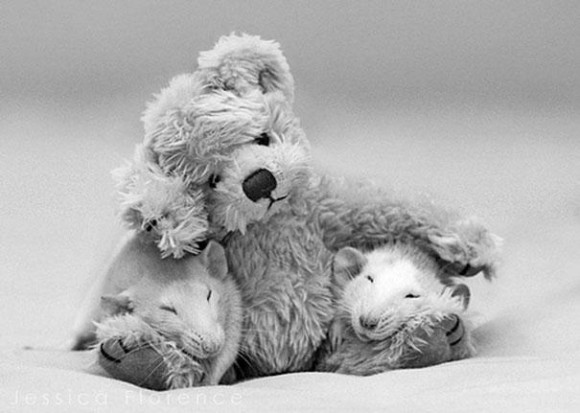 rats-with-teddy-bears-jessica-florence-9_e