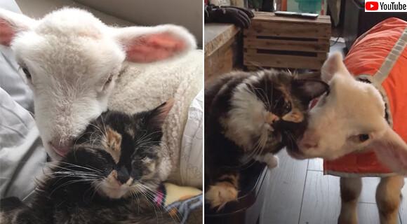 病気の子羊の看病をかって出た猫、両者は大親友となり猫の羊化が進む