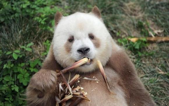 """ジャイアントパンダのレア種、茶色パンダの""""チーザイ""""、いじめ乗り越え養子縁組が成立"""