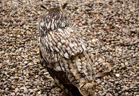 camouflaged_owls_05_e