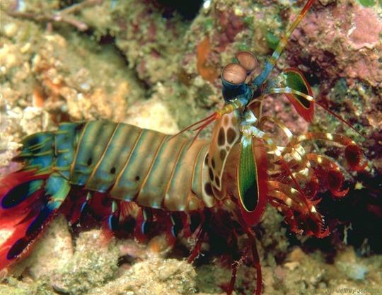 Mantis-Shrimp11