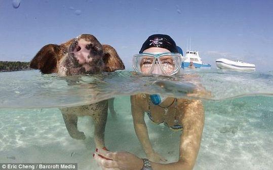 swimming_pigs_07
