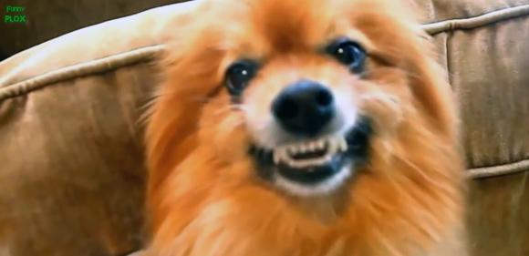 「スマイヌ!」きりっとにこっと笑っているように見える犬の表情映像総集編
