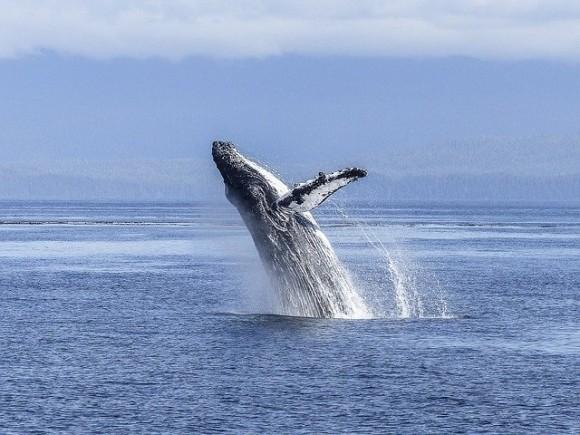 クジラの口に飲み込まれ、その後吐き出された男性