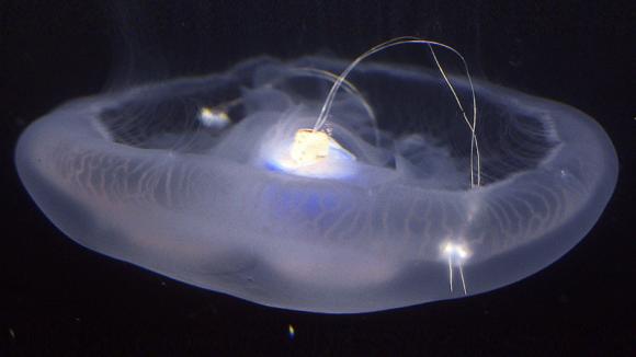 生きたクラゲに推進システムを搭載、高速遊泳可能なサイボーグ・クラゲが誕生(米研究)