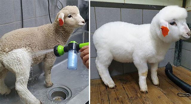 もふもふ真っ白の別羊に変身!シャワーを浴びた羊のビフォア・アフター(羊カフェ)