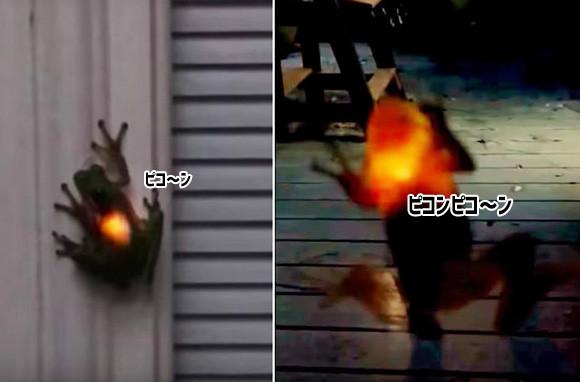 カエルにカラータイマーが!?体がピコンピコン光るカエル。その正体は?