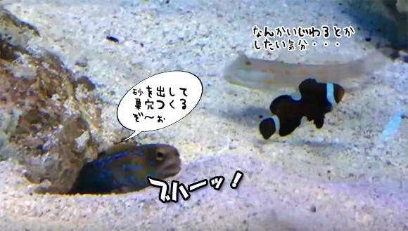 いやがらせ?何目的?一生懸命巣穴を掘る魚、その穴をすきあらば埋めようとする魚