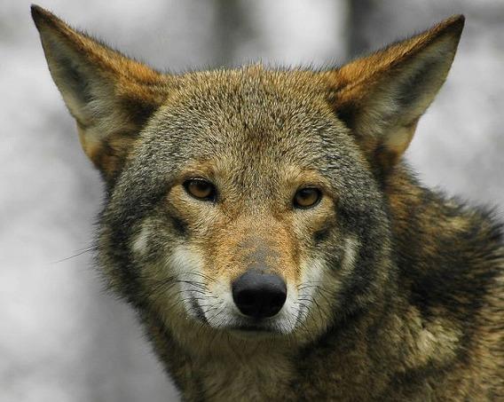 wolf_19