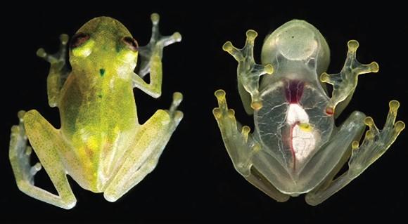 心臓の鼓動まで丸わかり!スルっと透明な新種のカエルが発見される(アマゾン)