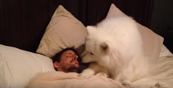 Image result for 犬 samoyed 顔をなめる