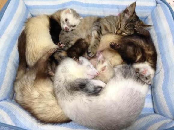 母親に育児放棄された子猫が保護された先は6匹のフェレットが暮らす家だった。加速するフェレット化で毎日仲良く暮らしているよ。