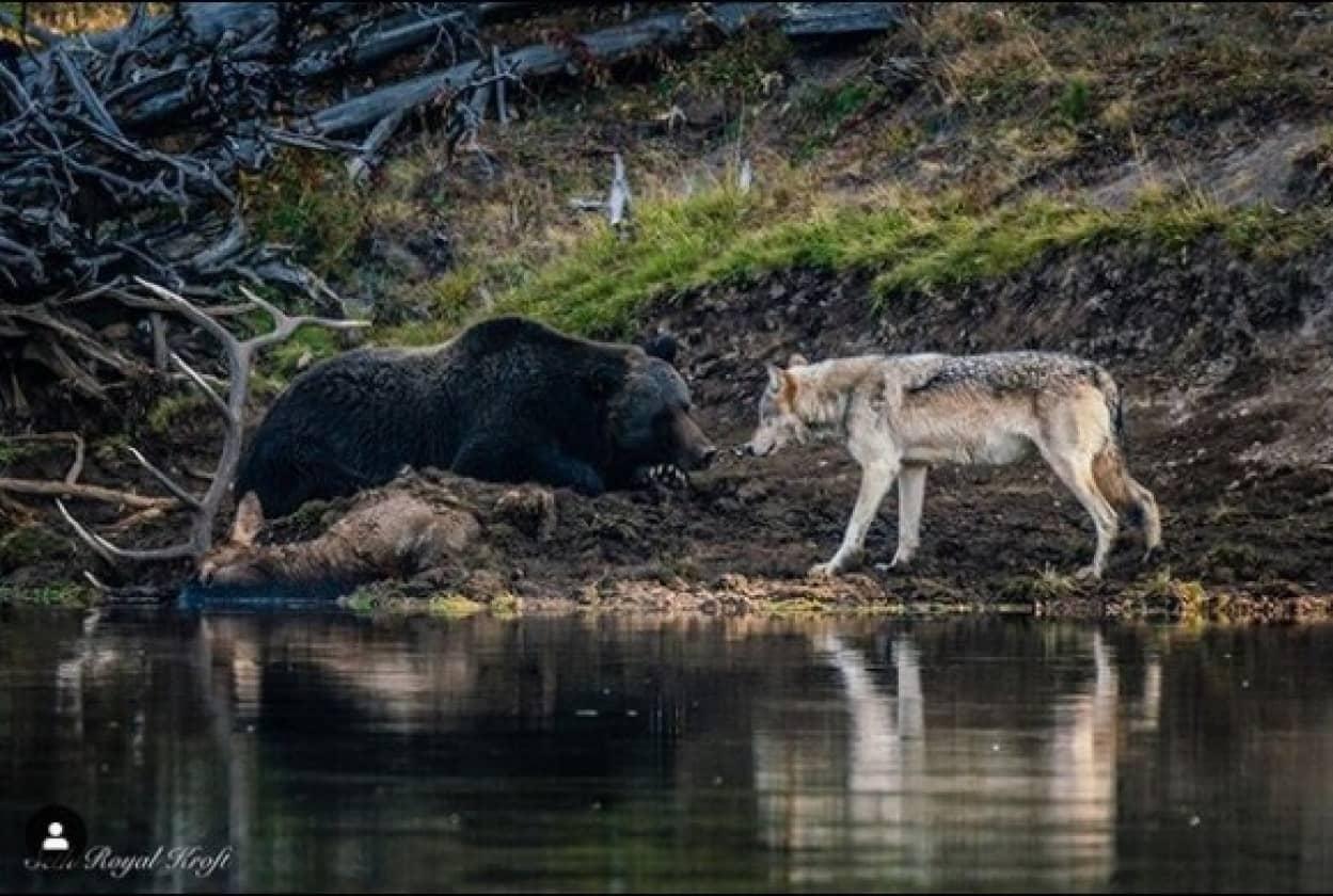 クマとオオカミがばったり遭遇