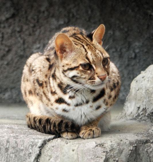 Leopard_Cat_Tennoji_(crop)