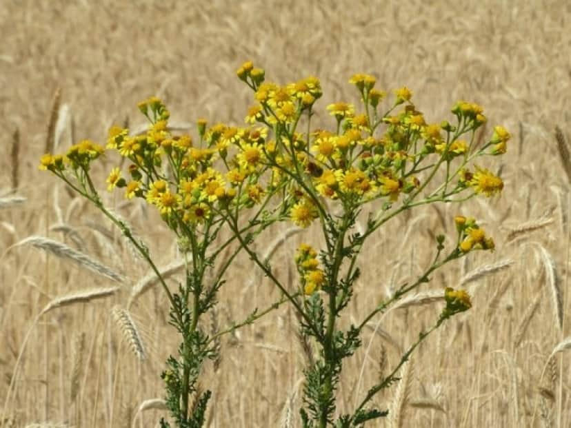 jacobaea-vulgaris-855504_640_e