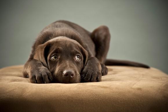 犬は知っている。子犬のような目で見つめると人の気をひけるということを。犬は意思疎通の為に表情を変えている可能性(英研究)
