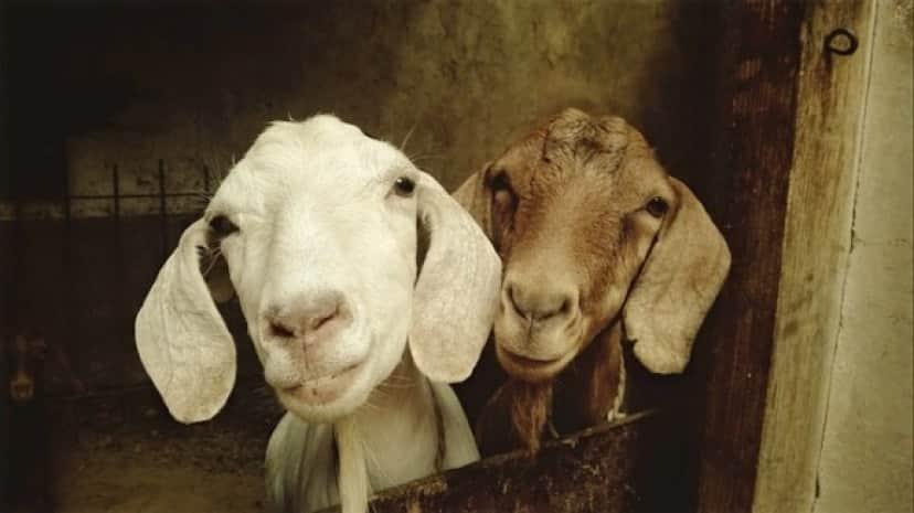 goat-556375_640_e
