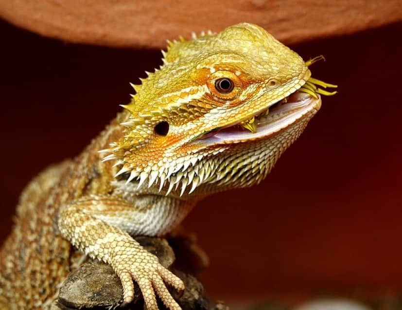 bearded-dragon-1302306_640