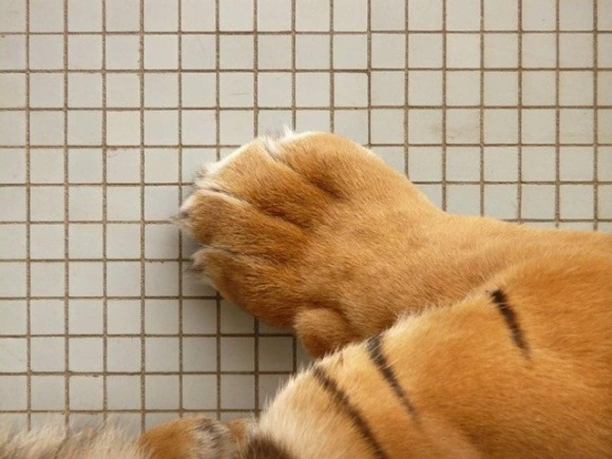 ネットで購入したサバンナキャットの子猫、実は虎だった