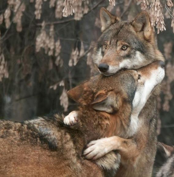 wolf_43