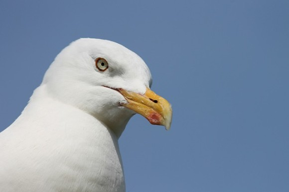 herring-gull-4587524_640_e