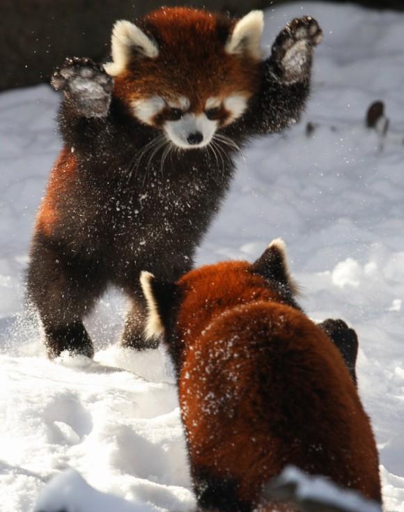 威嚇ポーズのレッサーパンダ