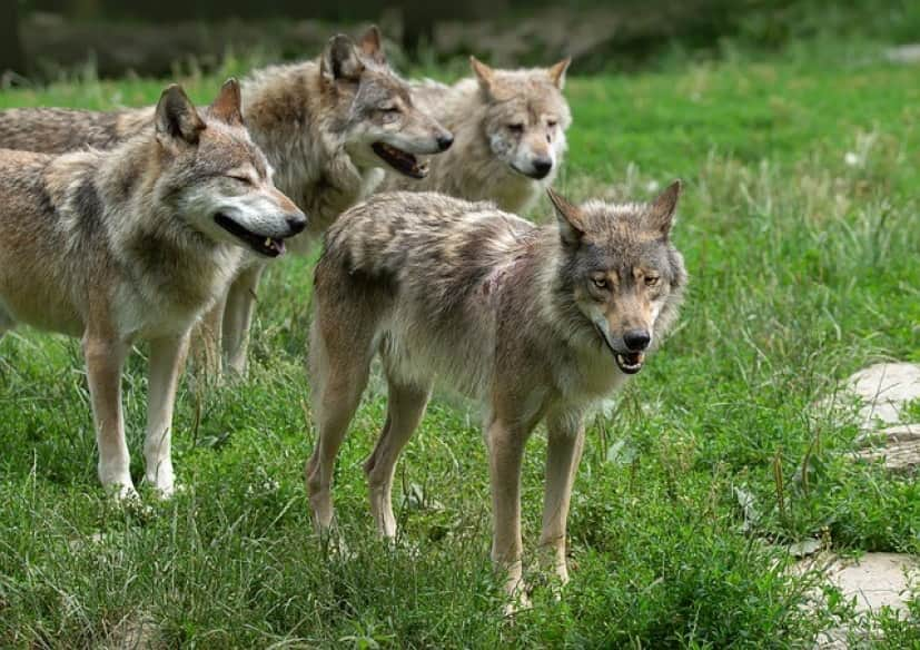 wolves-4377376_640