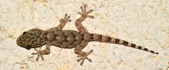gecko-2656812_640_e