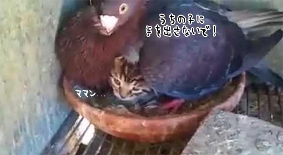 ポッポボァアアア!ハトが大事そうにあたためているヒナは猫だった