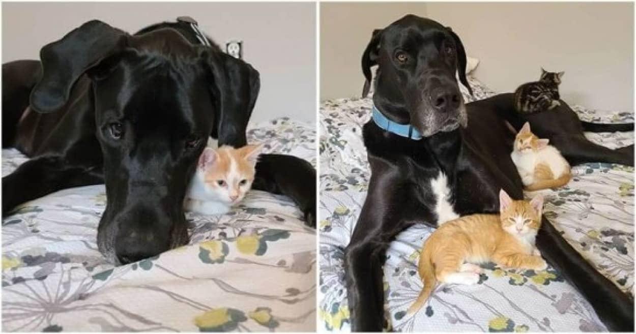 子猫に愛情を注ぐグレート・デーン