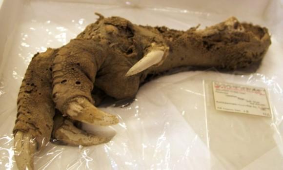 博物館の標本を使い、700年前に絶滅した巨大鳥「ジャイアントモア」のゲノムを再構築。再び蘇らせることはできるのだろうか?