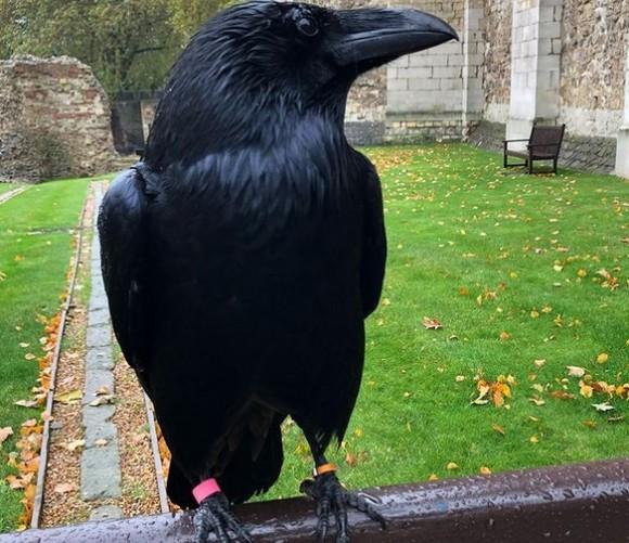 イギリスの守護神として知られているカラスの1羽が行方不明に