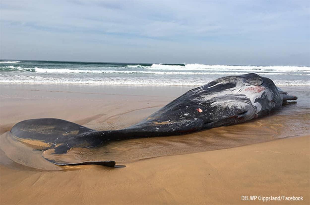 ダイオウイカと死闘を繰り広げていたマッコウクジラの死体が打ち上げられる