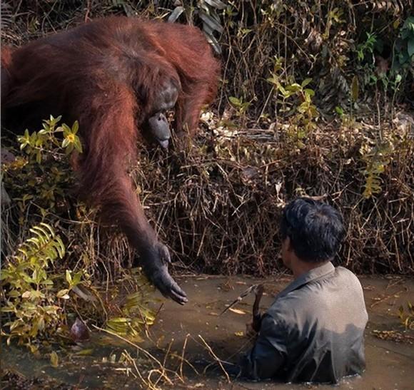 野生のオランウータン、川に入った男性に手を差し出し、救い出そうとする仕草(ボルネオ島)