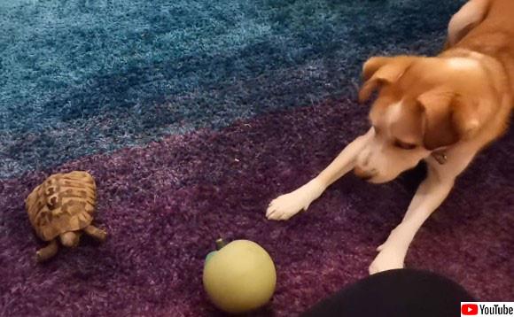 カメさん投げて!犬がカメにボールを渡し一緒に遊ぼうとおねだりするよ