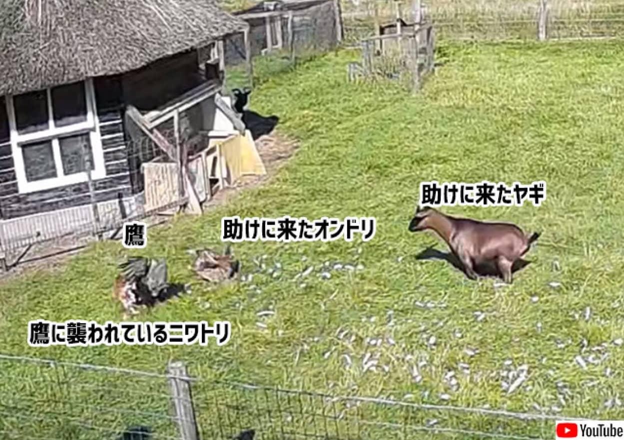 仲間は助ける!鷹に襲われているニワトリを助ける為、飛び込んでいったオンドリとヤギ