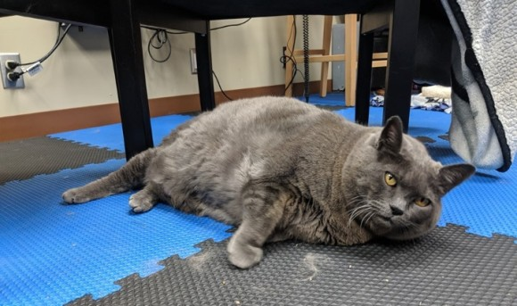 肥満猫のダイエット大作戦。様々なエクササイズに挑むもやる気が感じられないその姿に世界から励ましの声(アメリカ)