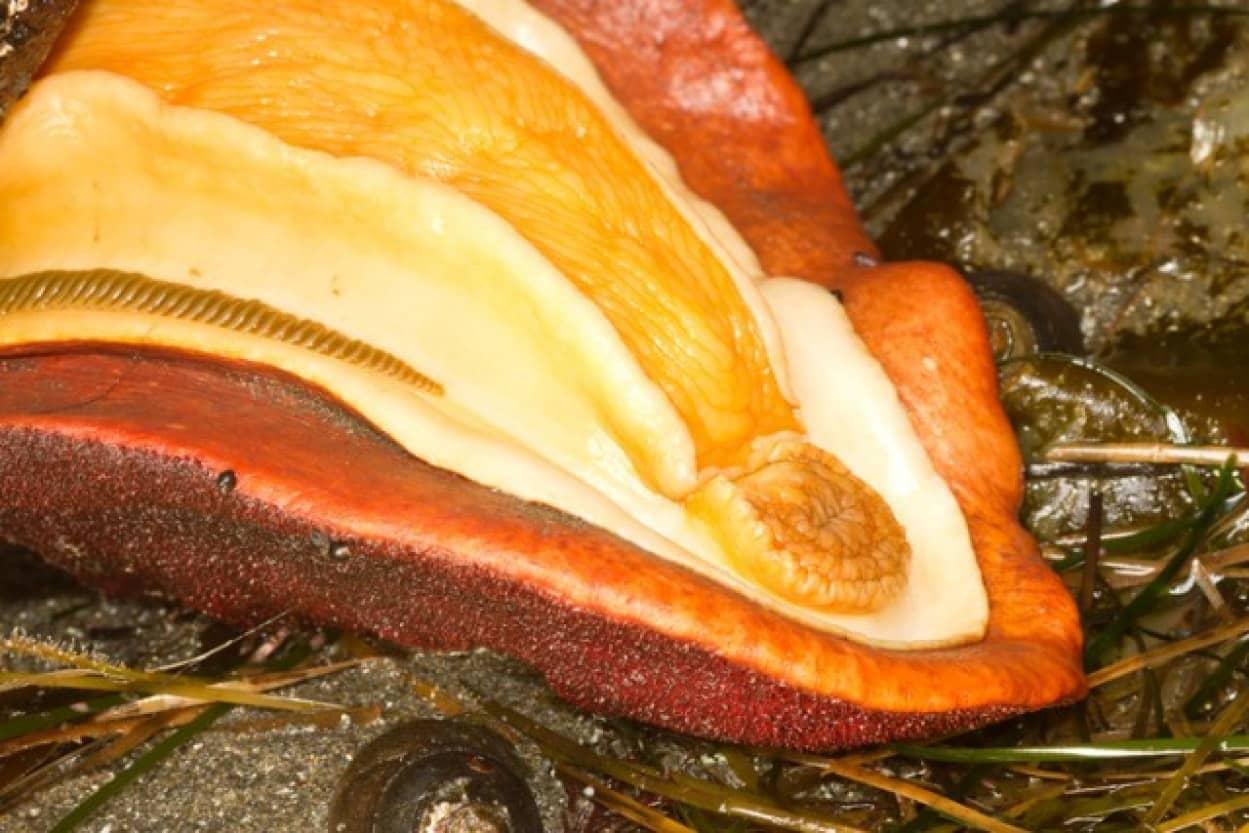ヒザラガイの歯は鉱物で出来ていた