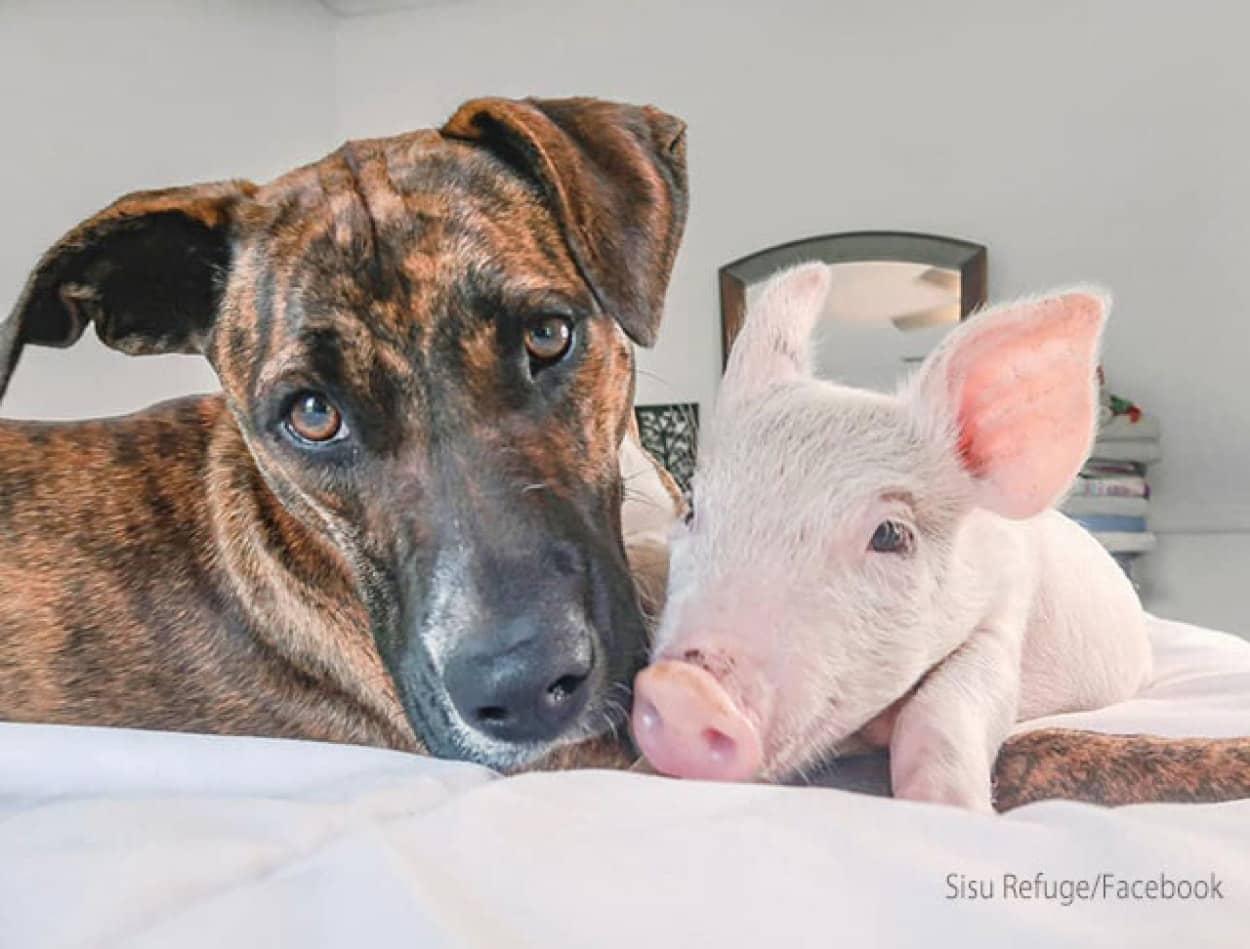 子豚と犬の間に芽生えた愛情