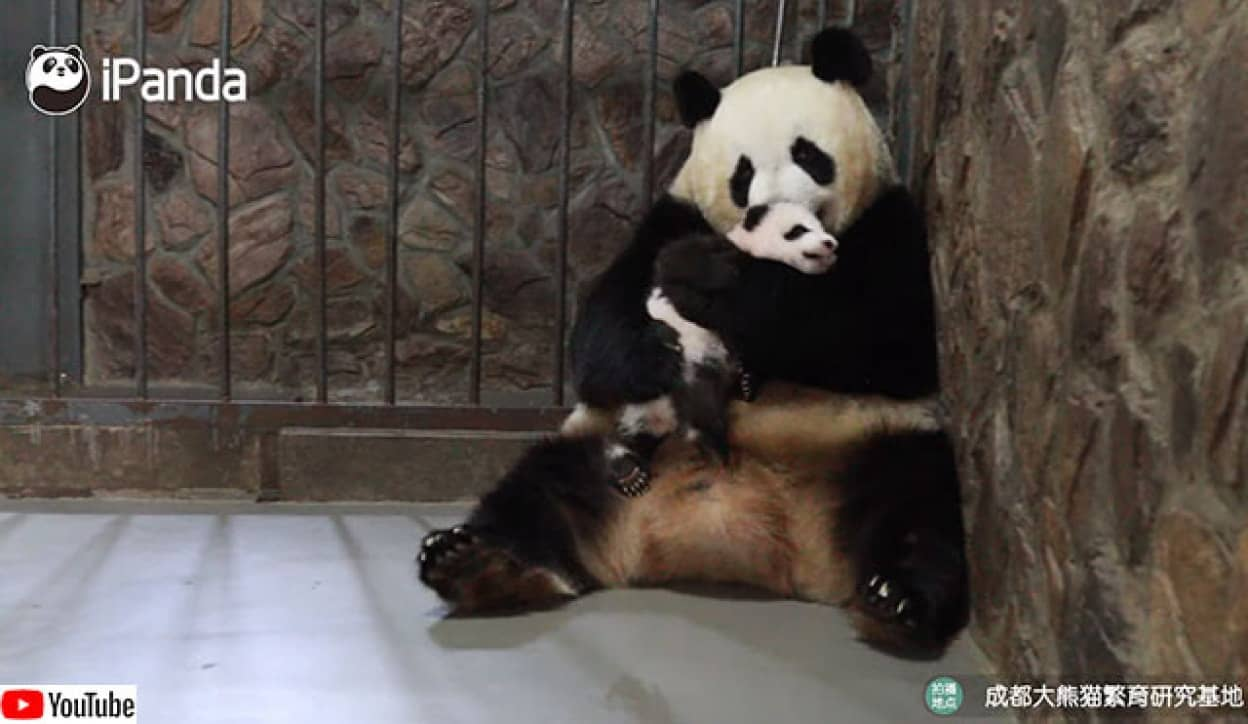 パンダのお母さんから赤ちゃんを拝借する方法