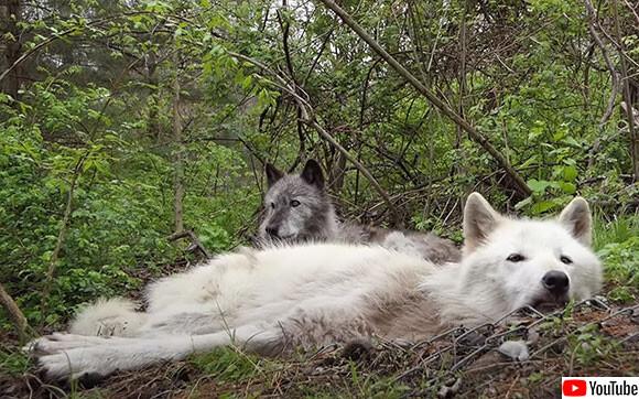 どんなに眠くても仲間の遠吠えにはきちんとこたえる狼たち
